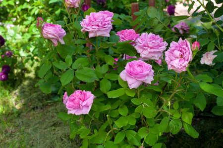 thorn bush: rose bushes