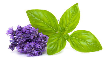lavender flowers: basil and lavender isolated on white background