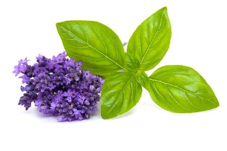 Basilikum und Lavendel auf weißem Hintergrund