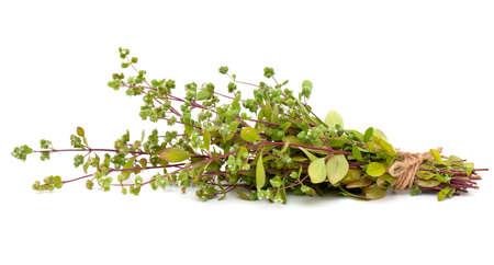 origanum: blooming marjoram
