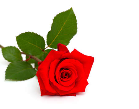 the red flowers: single red rose