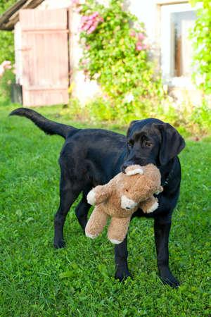 black labrador retriever outdoors playing with his teddy bear photo