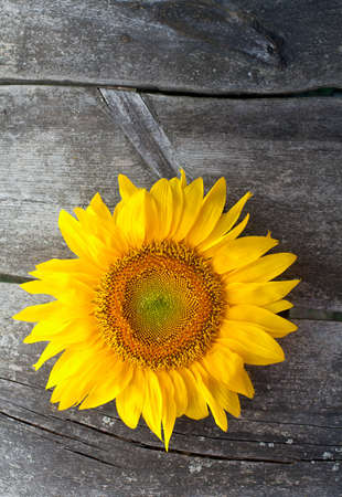 sunflower on wooden background photo