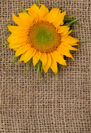 sunflower on sackcloth photo