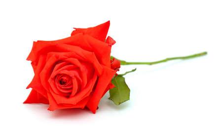 single rose: red rose over white