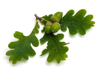 accorns with oak leafs photo