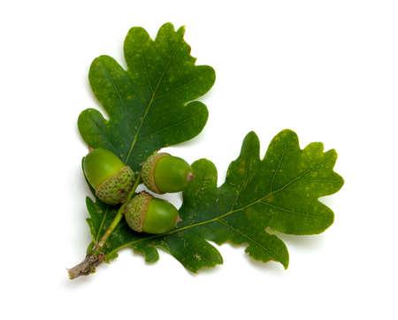 oak leaf: accorns with oak leafs