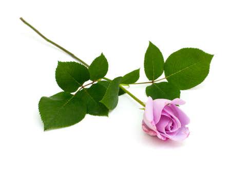 long shots: rosa viola isolato su sfondo bianco