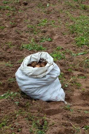 fresh potatoes in sack photo