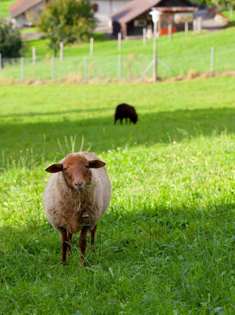 sheep on a pasture photo