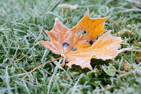 Maple leaf in the grass with morning frost photo