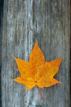 orange maple leaf on wooden surface photo
