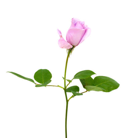 purple rose isolated on white background photo