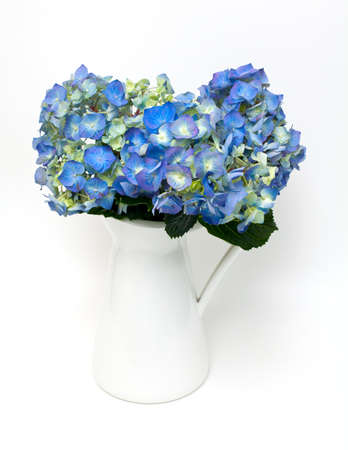 blue hydrangea in white pitcher photo