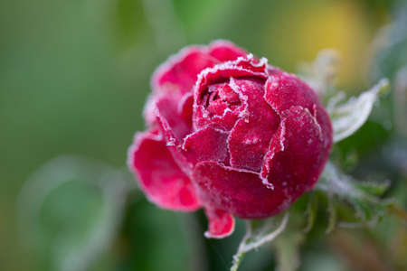 rose in frost photo