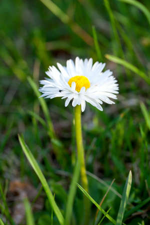 growing daisy Stock Photo - 17256957