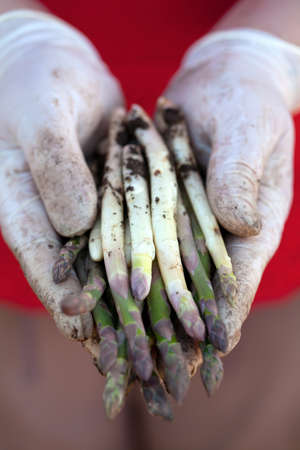 agruculture: picking up asparagus
