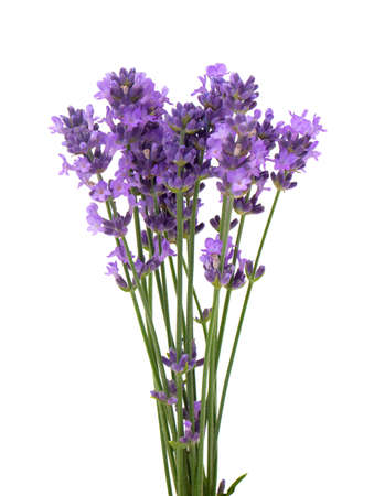 lavender: lavender isolated on white background Stock Photo