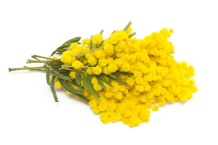 wattle: bunch of mimosa isolated on white background