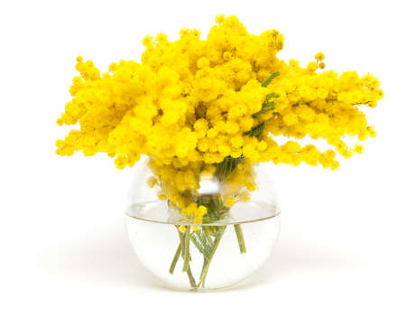 mimosa in a glass glass vase isolated on white background photo