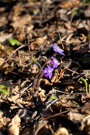 liverwort: Spring flower - liverwort (hepatica nobilis) Stock Photo