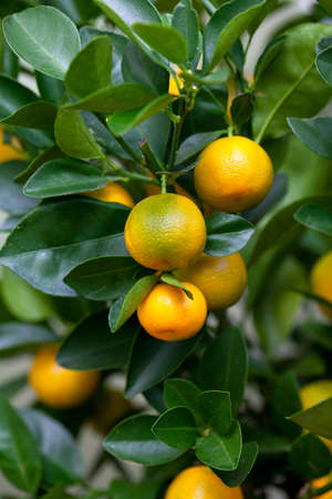 Orange (Citrus Fortunella) tree photo