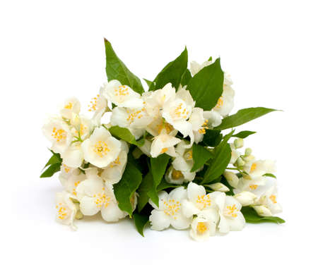 jasmine flowers isolated on white background photo