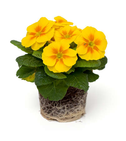 polyanthus: growing yellow primula flower isolated on white background Stock Photo