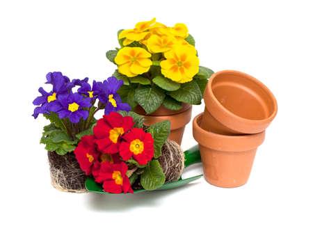 primula flowers,  ceramic pots and shovel isolated on white background Stock Photo - 18246697