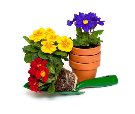 small flower: primula flowers,  ceramic pots and shovel isolated on white background