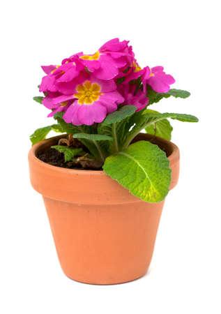 pink primula in ceramic pot over white photo