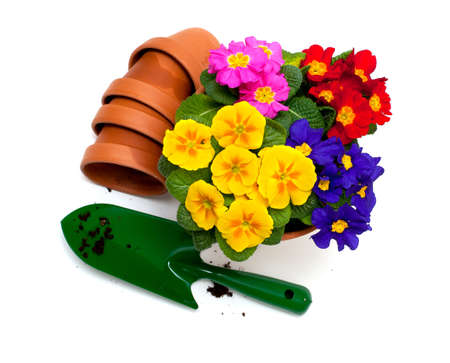 primula flowers,  ceramic pots and shovel isolated on white background Stock Photo - 18246674