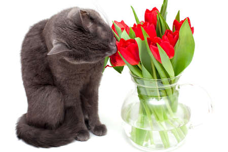 gray cat is eating tulips photo