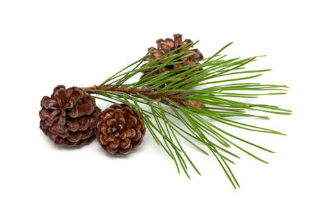 pine with cones isolated on white background Stock Photo