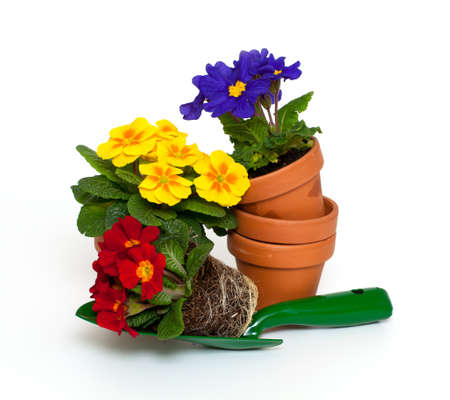 primula flowers in shovel and ceramic pots Stock Photo - 18378572