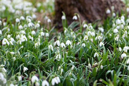 beautiful snowdrops photo