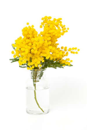 twig of mimosa in vase isolated on white background photo