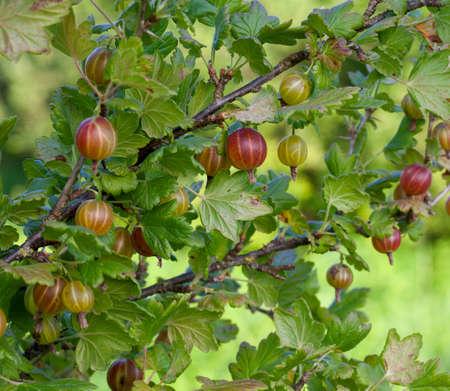 gooseberry bush: gooseberry growing