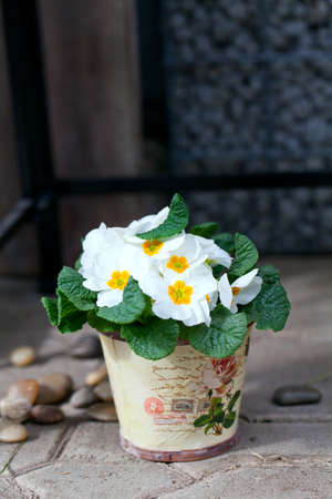 white primula flowers in vintage pot photo