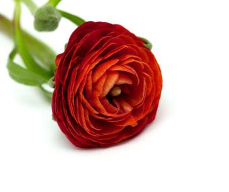 ranunculus: ranunculus flowers isolated on white background