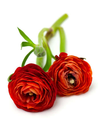 ranunculus flowers isolated on white background photo