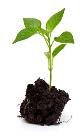 young paprika plant isolated on white background Stock Photo
