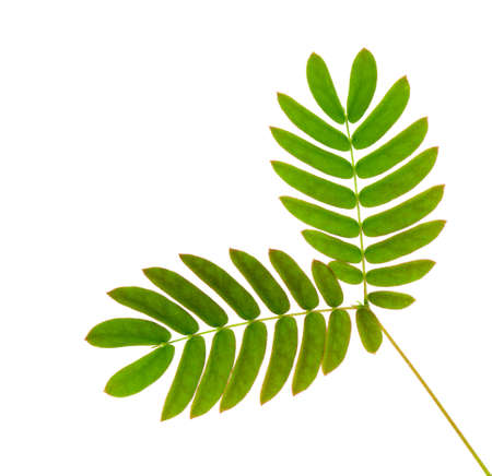 acacia: young acacia (albizia julibrissin) plant  isolated on white background