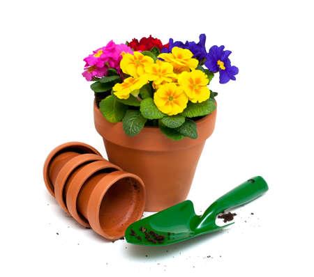 flower pot: primula flowers and green garden shovel isolated on white background