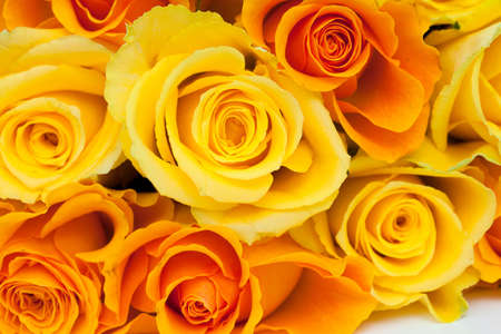 rosas amarillas: rosas amarillas y naranja aislados sobre fondo blanco