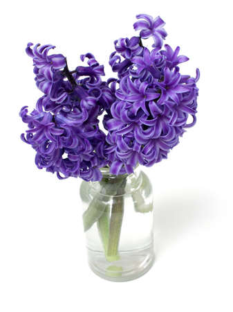 hyacinth flowers in bottle over white photo
