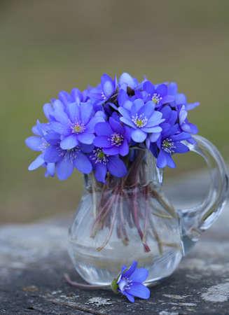 hepatica: liverwort flowers on wooden table