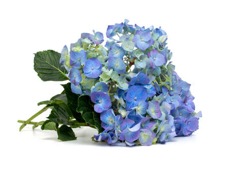 hydrangea over white photo