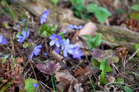 hepatica nobilis: blooming in the spring forest Hepatica nobilis Stock Photo