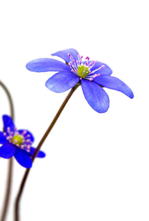 hepatica nobilis isolated on white background photo
